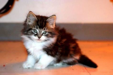 And now a picture of a cute kitten just to break up all this text and keep your attention. This is my cat, Brick, as a little fluff ball. Never had a vaccine. I am a rebel like that.