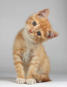 l-Confused-kitten